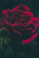 Preview iPhone wallpaper Rose in the dark