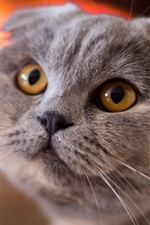 Preview iPhone wallpaper Scottish fold cat, face, yellow eyes
