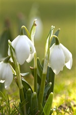Preview iPhone wallpaper Snowdrops, photography, sunshine