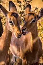 South Africa, impala, animal photography