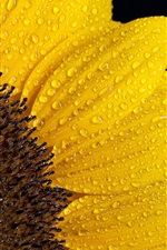 Preview iPhone wallpaper Sunflower petals, water drops