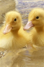 Preview iPhone wallpaper Two ducklings