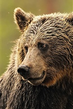 Preview iPhone wallpaper Wet brown bear look side