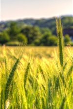 Preview iPhone wallpaper Wheat field, countryside, farm