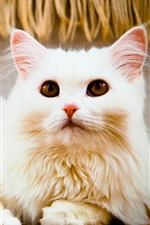 Preview iPhone wallpaper White cat rest, eyes, look