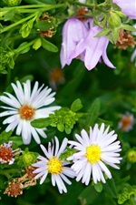Preview iPhone wallpaper White daisy flowers, green leaves