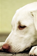 Preview iPhone wallpaper White dog rest, head, paws
