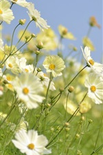 Preview iPhone wallpaper White kosmeya flowers