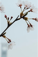 Preview iPhone wallpaper White plum flowers, spring, twigs