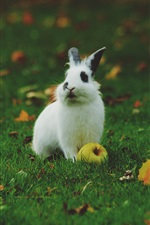Preview iPhone wallpaper White rabbit, apple, green grass, leaves