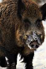 Preview iPhone wallpaper Wild boar, fangs, winter, snow