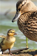 Preview iPhone wallpaper Wild duck and ducklings
