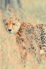 Preview iPhone wallpaper Wildlife, cheetah look back