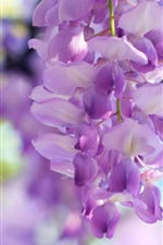 Wisteria flowers, light purple