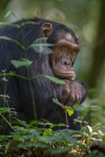 Africa, chimpanzees, trees, southern Uganda, Kibale national Park