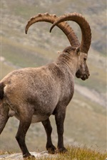 Preview iPhone wallpaper Alpine ibex rear view, horns