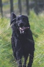 Black dog running, tongue, grass