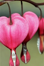 Preview iPhone wallpaper Bleeding heart flowers, pink, macro photography