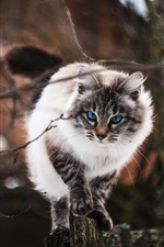 Blue eyes cat front view, twigs