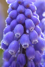 Preview iPhone wallpaper Blue grape hyacinth close-up, water drops