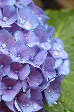 Preview iPhone wallpaper Blue hydrangea flowers, dew