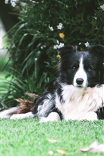 Preview iPhone wallpaper Border collie dog rest under tree