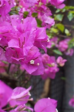 Preview iPhone wallpaper Bougainvillea, purple flowers, fence, bokeh