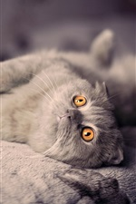 Preview iPhone wallpaper British shorthair cat sleep in bed
