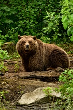 Preview iPhone wallpaper Brown bear, bushes, river