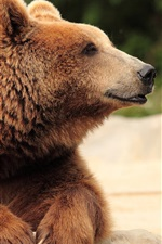 Preview iPhone wallpaper Brown bear, head, paws