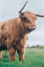 Preview iPhone wallpaper Bull in grass, horns, fur