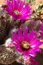 Preview iPhone wallpaper Cactus pink flowers, needles, desert plants