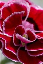 미리보기 iPhone 배경 화면 카네이션 클로즈업, 빨간색 흰색 꽃잎