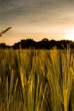Preview iPhone wallpaper Cereals, rye field, sunset