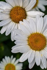 Chamomile, white flowers, water drops