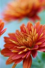 Chrysanthemums close-up, orange flowers