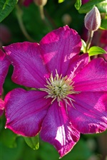 Preview iPhone wallpaper Clematis pink flowers macro photography