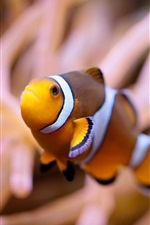 Preview iPhone wallpaper Clown fish, underwater