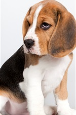 Preview iPhone wallpaper Cute puppy, beagle sit down