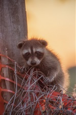 Preview iPhone wallpaper Cute raccoon baby
