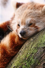 Preview iPhone wallpaper Cute red panda sleep in tree
