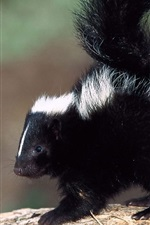 Preview iPhone wallpaper Cute skunk close-up