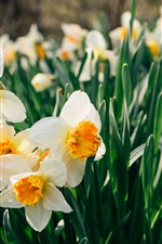 Preview iPhone wallpaper Daffodils flowers field, white petals