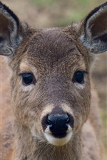 Preview iPhone wallpaper Deer front view, ears, look