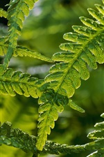 Fern leaves after rain, green nature