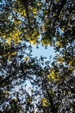 Forest trees, view to top, sky