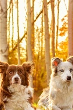 Preview iPhone wallpaper Four dogs in autumn, grass, trees, sunshine