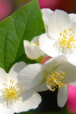 Preview iPhone wallpaper Four petals white flowers