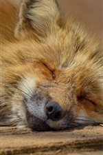Preview iPhone wallpaper Fox fall in sleep
