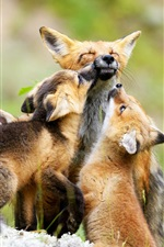 Preview iPhone wallpaper Fox family, cubs